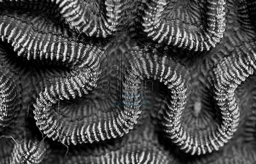 Boulder brain coral (Colpophyllia natans) at Deep Sea Quest scuba dive site; Roatan, Bay Islands, Honduras.<br /> <br /> Higher-resolution file deliverable upon request.