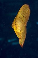 juvenile round batfish or spadefish, Platax orbicularis, Madang, Papua New Guinea, Pacific Ocean