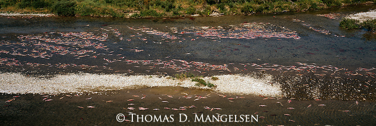 Dead salmon float on the top of a river on the Alaska Peninsula.