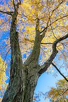 Gleditsia triacanthos 'Skyline, Honeylocust Tree; Arnold Arboretum