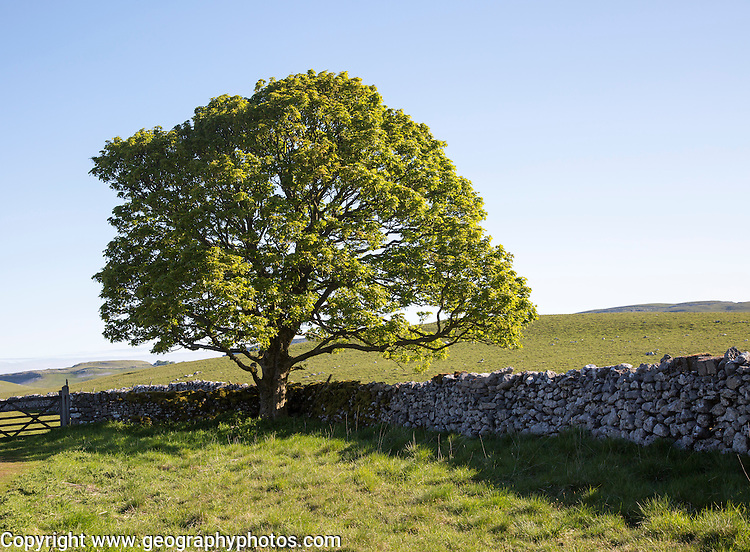 Tree green leaves early summer against blue sky, Malham, Yorkshire Dales national park, England, UK