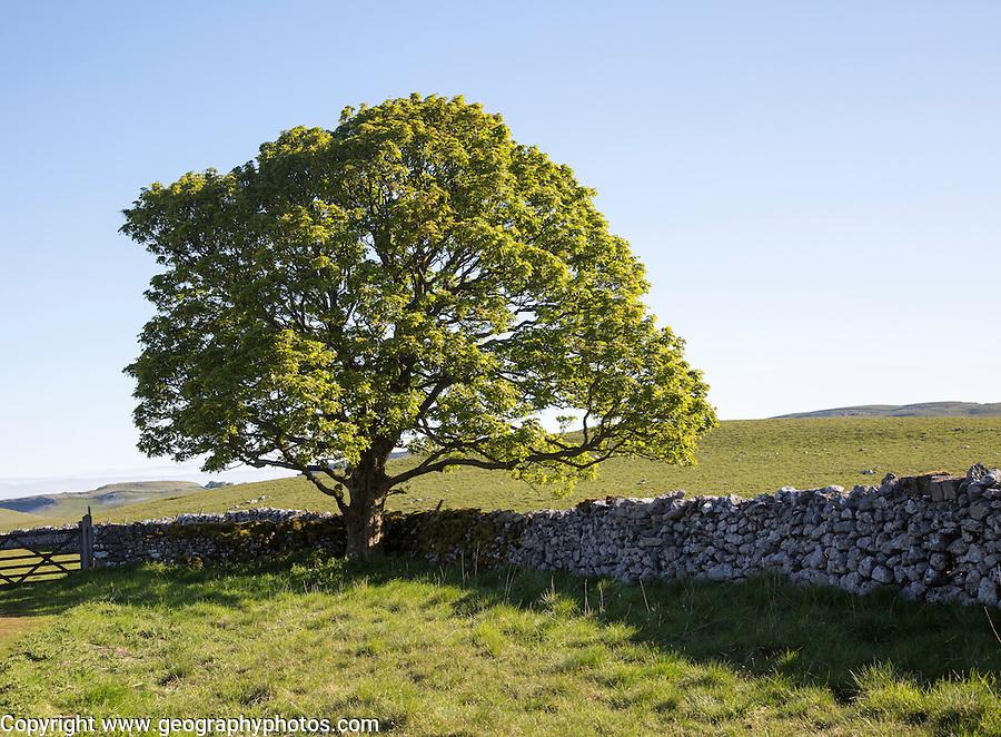 Tree green leaves early summer against blue sky, Malham, Yorkshire Dales national park, England, UK