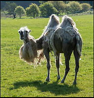 Bad hair day for Longleat camels.