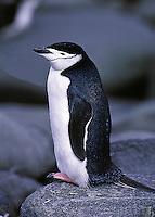 Chinstrap Penguins Pygoscelis antarctica. Elephant Island Antarctica.