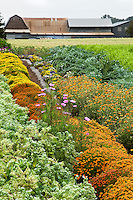 Edible flowers in field rows for harvest, Viridian Farms, oregon