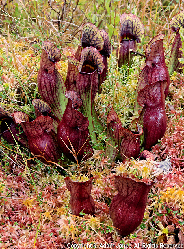 Northern Pitcher Plant, Sarracenia purpurea, in Sphagnum moss, Hiawatha National Forest, Upper Peninsula of Michigan.