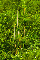 Linsen-Fadenkeulchen, Linsen-Sklerotienkeulchen, Fadenkeulchen, Typhula phacorrhiza, Clavaria phacorrhiza, Sclerotium scutellatum