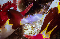 Mating Nudibranchs, Nembrotha chamberlanii, Mindoro, Philippines, Pacific Ocean