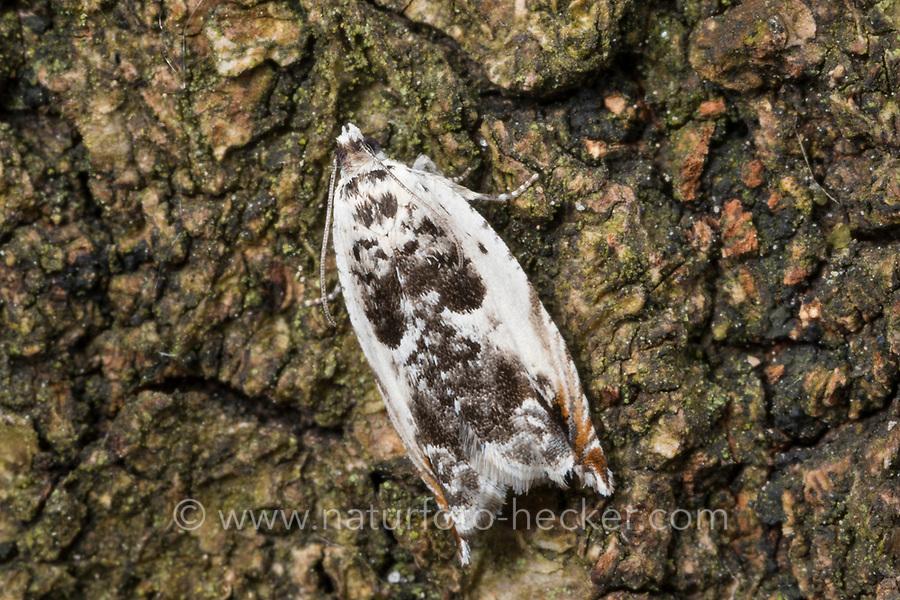 Ancylis laetana, Pyralis lactana, Tortrix harpana, Aspen Roller, Tortricidae, Wickler, Blattroller, tortrix moths, leafroller moths, Les tortricidés