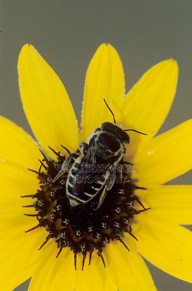 Bee, adult in dew on sunflower, Welder Wildlife Refuge, Sinton, Texas, USA, May 2005