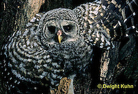 OW01-107a  Barred owl - young in nest cavity - Strix varia