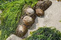 Gemeine Napfschnecke, Patella vulgata, bei Ebbe, Niedrigwasser auf Fels, Felswatt, common limpet, common European limpet, Patellidae, Napfschnecken, limpets, true limpets