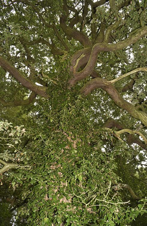 Pedunculate Oak - Quercus robur