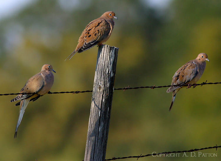 Three mourning doves on barbed wire fence