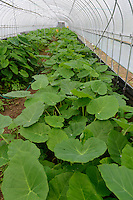 Lotus leaves growing in a greenhouse, Kamikatsu, Katsuura, Tokushima Prefecture, Japan, July 7, 2014. The Irodori Project is based in the mountain town of Kamikatsu, Tokushima Prefecture. Farmers - many of them elderly - grow leaves and flowers to use to decorate Japanese food in restaurants and hotels across the nation.