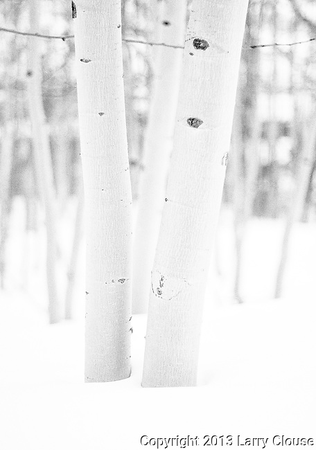 February 17, 2013:  Aspen grove near Crested Butte, CO.