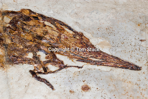 Protopsephurus liui, China, oldest known Paddlefish.  Only two fossil specimens, one in China and the other in the U.S.