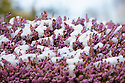 10/02/20<br /> <br /> Pink heather covered in slow in Ilam near Ashbourne.<br /> Snow falls on the Derbyshire Peak District.<br /> <br /> All Rights Reserved: F Stop Press Ltd.  <br /> +44 (0)7765 242650 www.fstoppress.com