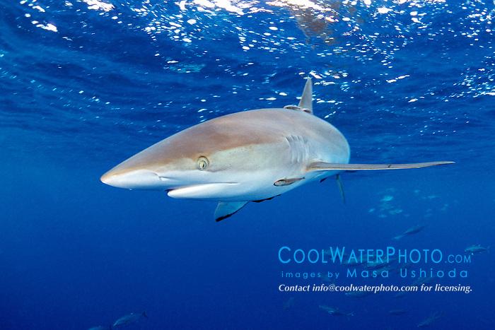 silky shark, Carcharhinus falciformis, .and school of yellowfin tunas .(`A-hi in Hawaiian), Thunnus albacares, .Kona, Big Island, Hawaii (Pacific).
