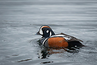 Harlequin Duck (Histrionicus histrionicus) in a beaver pond in the mountains of Southcentral Alaska.