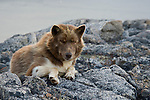 A Canadian sled dog rests on a rock near Qikiqtarjuaq in the Canadian North. Baffin Island, Nunavut, Canada.