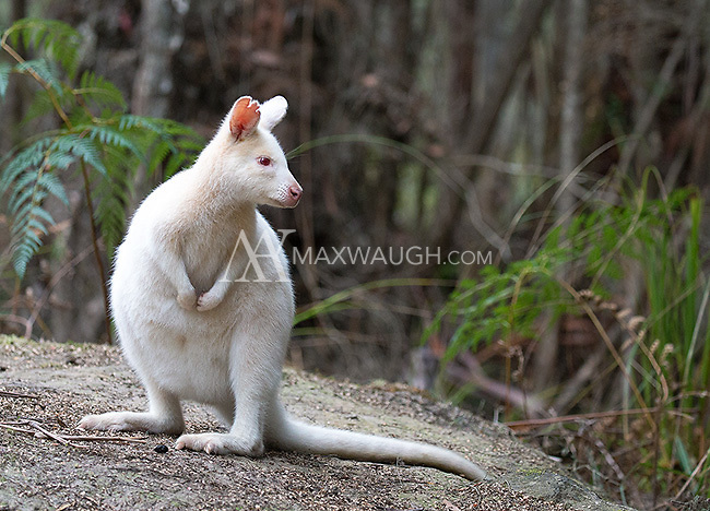 Bruny Island is home to a small population of white Bennett's wallabies.  Though some residents think of them as being similar to Canada's spirit bears, most are in fact true albinos, with pink eyes and poor vision.