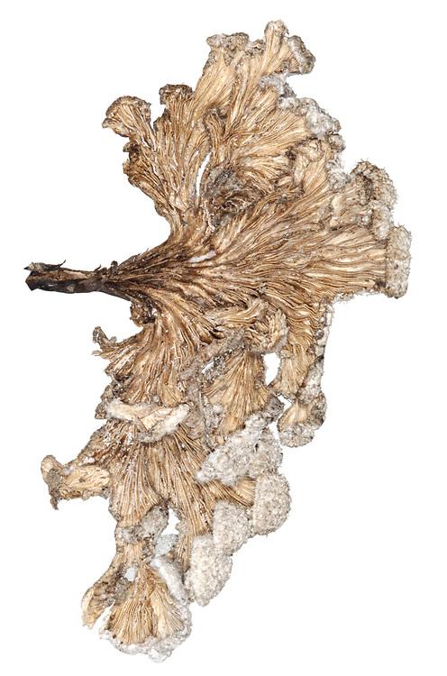 Splitgill or Common Porecrust - Schizophyllum commune