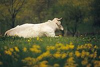 Europe/France/Limousin/23/Creuse/Env Guéret: Vaches de race blonde d'Aquitaine dans un champ de pissenlits en fleurs