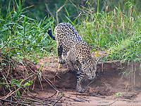 Jaguar (Panthera onça) silently tracks her prey on a sandy river bank in The Pantanal, Brazil.