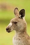 Eastern Grey Kangaroo (Macropus giganteus) during rainfall, Bawley Point, New South Wales, Australia