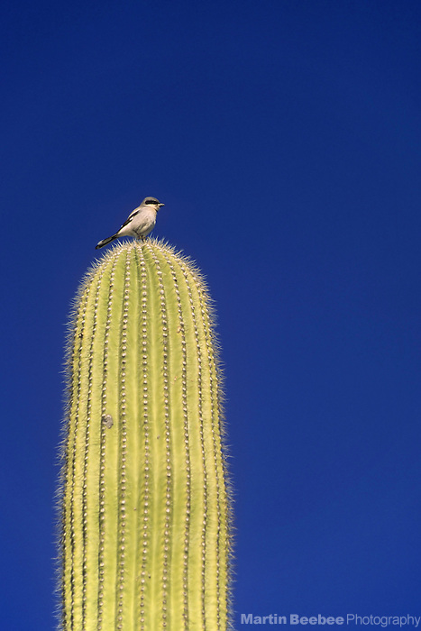 A Loggerhead Shrike (Lanius ludovicianus) perches on saguaro cactus, Organ Pipe Cactus National Monument, Arizona