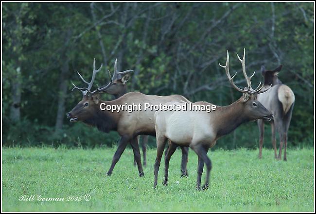 Rocky Mountain elk near North Bend, Wa.