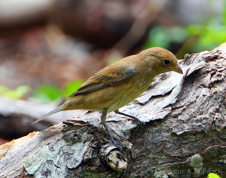 Juvenile indigo bunting in fall migration