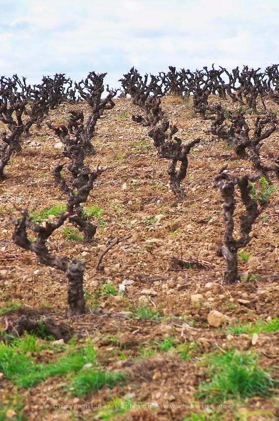 Chateau Villerambert-Julien near Caunes-Minervois. Minervois. Languedoc. Vines trained in Gobelet pruning. Old, gnarled and twisting vine. Terroir soil. France. Europe. Vineyard.