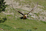 Lammergeier or Bearded Vulture in flight,with goats foot in it´s beak. Ordesa y Monte Perdido national park, Aragon,Pyrenees, Spain.