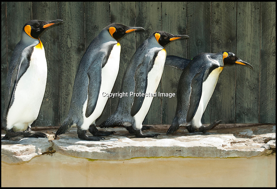 BNPS.co.uk (01202) 558833<br /> Pic: PhilYeomans/BNPS<br /> <br /> Missy still leads the colony around their enclosure - despite having to use a carefully deployed flipper to steady her way.<br /> <br /> Worlds oldest Penguin discovered at a Gloucestershire sanctuary.<br /> <br /> Missy the penguin has waddled forward to claim the crown as the oldest in the world after defying her keepers' expectations and reaching 'at least 36 years old' - a staggering 108 in human years.<br /> <br /> Missy, a King Penguin, arrived at the Birdland wildlife park when she was at least five-years-old in 1982, and depite losing the sight in one eye she is still the leader of the colony today.<br /> <br /> Despite her old age her keepers had no idea that she was the World's oldest, until a zoo in Denmark claimed the title with a Gentoo penguin two years younger than Missy.<br /> <br /> Staff at Birdland Park and Gardens, in Bourton-on-the-Water in Glos. are now planning to send her details to the Guinness World Records to prove she has smashed the record.<br /> <br /> King penguins - Aptenodytes patagonicus in Latin - are only expected to live up to 26 years in captivity.<br /> <br /> Missy, who is blind in one eye, spends most of her time with her partner of 18 years, Seth, who is thought to be 34-years-old.