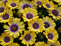 Close up of Blue-eyed Beauty (Osteospermum)