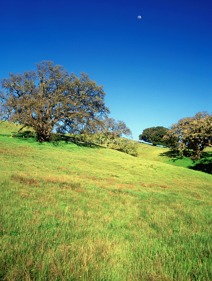 Carmel Valley Oak Trees