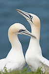 A pair of courting Gannets ( Morus bassanus), Bempton cliff's, Yorkshire,UK.