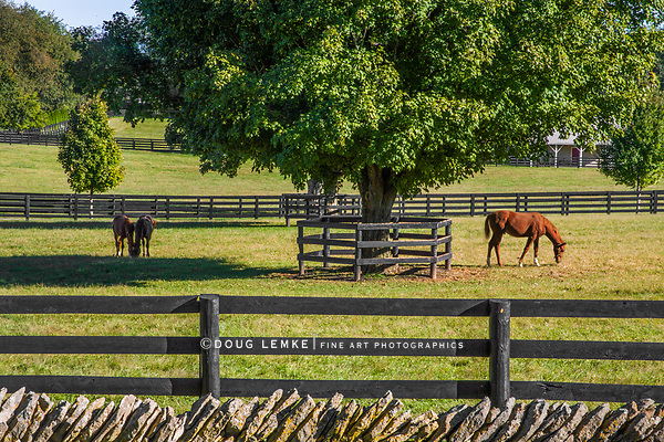 Horses feeding on green grass inside wooden fences In thoroughbred country, Lexington, Kentucky, USA