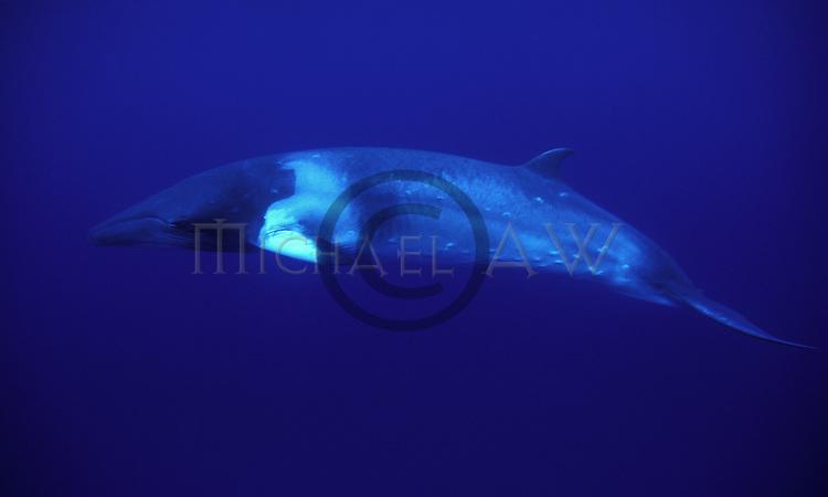 Minke whale in Blue - Balaenoptera acutorostrata.Great Barrier Reef, Coral Sea, Queensland, Australia