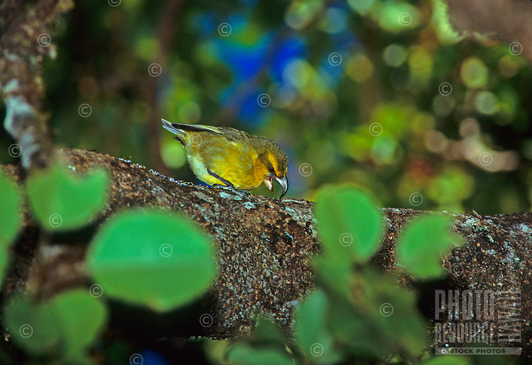 A close-up of the endemic Hawaiian honeycreeper (or kawikiu, Maui Parrotbill, Pseudonestor xanthophrys) in a forest on Maui.