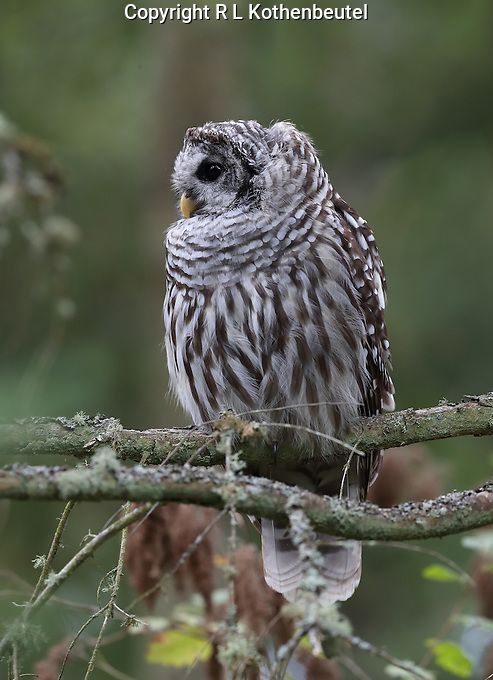 A barred owl perches on a branch near the trunk of a Douglas fir tree.