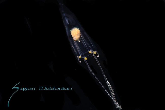 Zanclea sp, Hydrozoa, Zancleidae, Black Water diving, Pelagic marine life; planktonic creature;  Gulfstream Current SE Florida, South Atlantic Ocean.