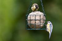 Kohlmeise und Blaumeise an der Vogelfütterung, Fütterung am Fettfutter, Meisenknödel, Kohl-Meise, Meise, Meisen, Parus major, great tit. Blau-Meise, Meise, Cyanistes caeruleus, Parus caeruleus, blue tit. Ganzjahresfütterung, Vögel füttern im ganzen Jahr, Vogelfutter der Firma GEVO, Riesen-Meisenknödel in Meisenknödelhalter