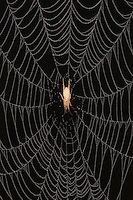 Ghost Spider (Anyphaenidae),  in dew covered Spiderweb, Sinton, Corpus Christi, Coastal Bend, Texas, USA