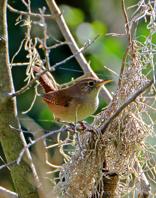 Adult house wren