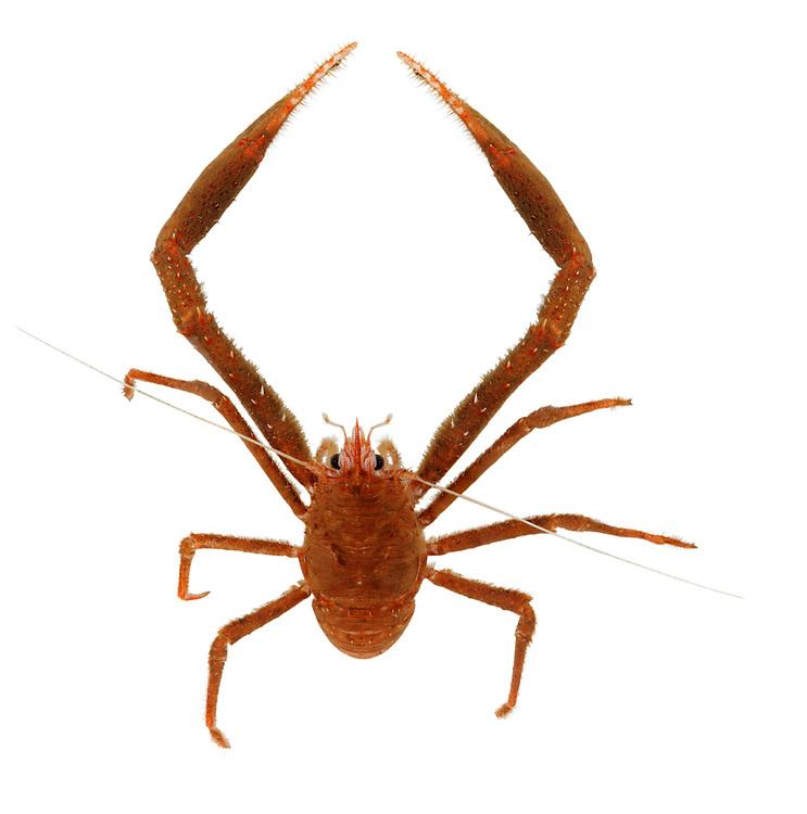 Long-clawed Squat Lobster - Munida rugosa
