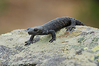 Alpine Salamander (Salamandra atra), adult, Alps, Switzerland