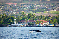 A humpback whale, Megaptera novaeangliae, lifts it's tail in front of Lahaina Harbor and the famous Pioneer Inn on Maui, Hawaii.